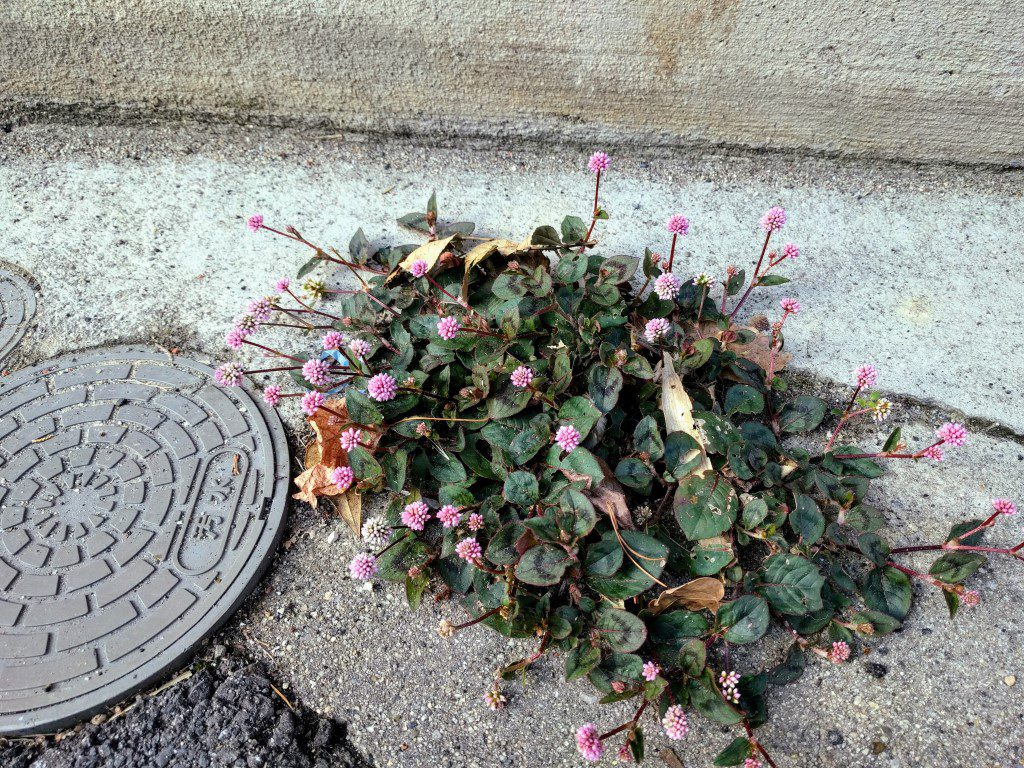 道端の野花 Wild flowers on the street